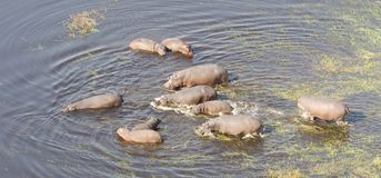 Aerial view of Hippopotamus Hippopotamus amphibius in the wate. R, Okavango, Botswana royalty free stock photos