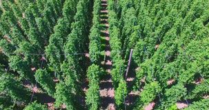 Hops plants in rows. Aerial view of hops field. Plants in rows. Agriculture background stock video