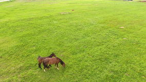 Aerial view:Horses grazing on the field stock video footage