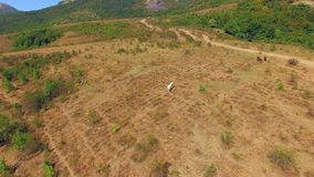 AERIAL VIEW. Horses Grazing At Meadow Near Demerdzhi Mountain stock video footage