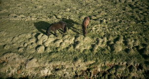 Aerial view of the horses walking on the lava field in Iceland. Wild animals grazing on the green meadow. Copter flying over the farm on the hill with pony stock video