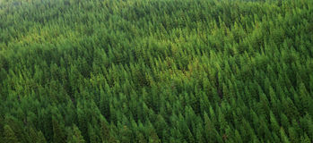 Aerial view of green healthy pine forest, panorama texture stock image