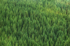 Aerial view of huge green healthy pine forest, panorama texture stock photography