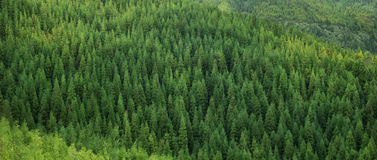 Aerial view of huge green healthy spruce tree forest, panorama texture Royalty Free Stock Photography