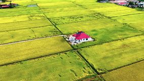 Aerial view of isolated house in golden paddy field