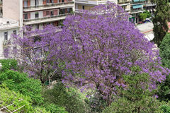 Aerial view of a jacaranda mimosifolia tree Stock Images