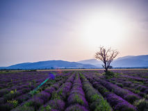 Aerial view of a landscape with lavender field Stock Photo