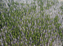Aerial view of larch forest. royalty free stock image