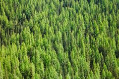 Dense Taiga boreal forest in Altai Mountains of Western Mongolia. Aerial view of Larches at Taiga boreal forest in Altai Mountains of Western Mongolia royalty free stock images
