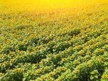 Aerial view of a large colored field of ripened sunflowers of green color with yellow petals stock photo