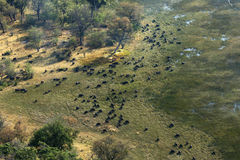 Aerial view of a large herd of African Cape Buffalo. Okavango Delta, Botswana. Large herd of grazing Cape buffalo in the Okavango Delta stock photos