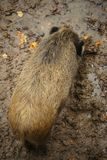 Aerial View of a large Wild Boar Royalty Free Stock Photography