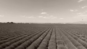 Aerial view of lavender field. Lavender Fields of Provence, France, close-up view seen from above, drone view. Valensole Plateau stock video footage