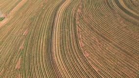 Aerial View Of Little Peanut Plant stock video footage