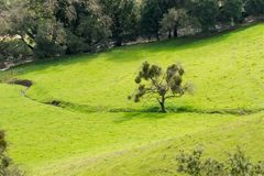 Aerial view of a live oak full of mistletoe on a green grass meadow, Rancho Canada del Oro Open Space Preserve, California royalty free stock image