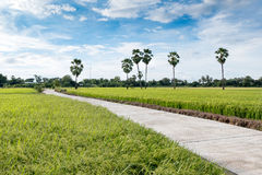 Aerial view of long concrete walkway in green rice field Royalty Free Stock Photography