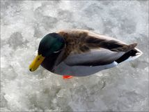 Aerial view of a mallard duck. Aerial view of a male mallard duck waiting for the spring to come on a frozen lake Stock Image