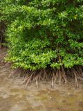 Aerial view of mangrove forest, Chanthaburi, Thailand. Wide angle aerial view of a cluster of large mangrove trees on a muddy coastal beach. Vertical orientation royalty free stock photo