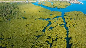 Mangrove forest in Asia. Philippines Siargao island. Aerial view of mangrove forest and river on the Siargao island. Mangrove jungles, trees, river. Mangrove Stock Photos