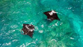 Aerial view of Manta rays swimming Stock Images