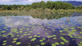Aerial view of many water lilies in lake with sky reflected on calm surface like in mirror. Top view of lotus flowers in. Pond shot with a dji mavic fps 29,97 stock footage
