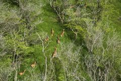 Aerial view of Maui axis deer. Royalty Free Stock Photo