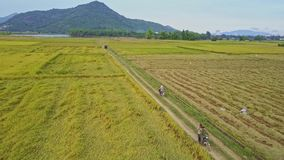 Aerial View Men Drive Bikes among Rice Fields against Sky. GIANG-LY/VIETNAM - APRIL 28 2017: Aerial view local men drive bikes among immense rice plantations stock video footage