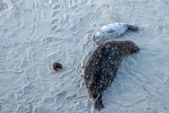 Aerial view of mother and pup sea lions resting on beach with smiles stock photos