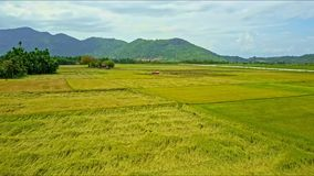 Aerial view motion over wide rice fields to driving tractor. Against trees and high mountains with cloudy sky stock footage