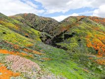 Aerial view of Mountain with California Golden Poppy and Goldfields blooming in Walker Canyon, Lake Elsinore, CA. USA. Bright orange poppy flowers during royalty free stock photography