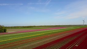 Aerial view of multi-colored tulip field. Backwards aerial pan of a multi-colored tulip field in the Netherlands stock footage