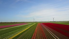 Aerial view of multi-colored tulip field. Forwards aerial pan of a multi-colored tulip field in the Netherlands stock footage
