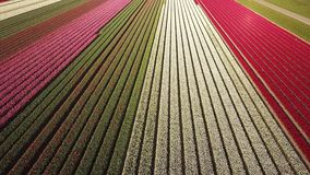 Aerial view of multi-colored tulip field. High upwards aerial pan of a multi-colored tulip field in the Netherlands at sunrise stock footage