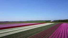 Aerial view of multi-colored tulip field. Top to bottom pan of a multi-colored tulip field in the Netherlands stock video footage