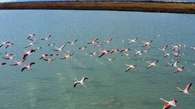 Aerial View Of A Flock Of Pink Flamingos Over De Marsh Of Santapola, Spain. Stock Image
