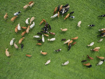 Free Aerial View Of Grazing Cows In A Herd On A Green Pasture In  Summer Royalty Free Stock Images - 97397849