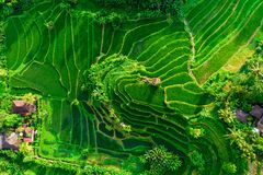 Aerial View Of Green Fields Green Rice And Corn Fields In Bali, Indonesia Stock Image