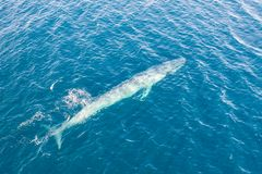 Free Aerial View Of Pygmy Blue Whale In Indonesia Stock Photography - 160899612