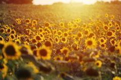 Free Aerial View Of Sunflowers Field, Sun Shine Royalty Free Stock Photos - 154563748