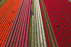 Free Aerial View Of The Tulip Fields In North Holland Royalty Free Stock Image - 162937696