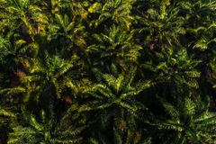 Aerial view of oil palm tree plantation field stock photo