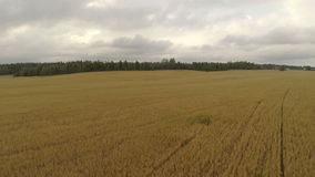 Aerial view of organic barley field stock video