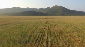Aerial view of organic barley field stock footage