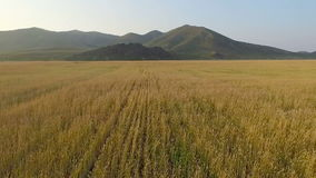 Aerial view of organic barley field stock video footage
