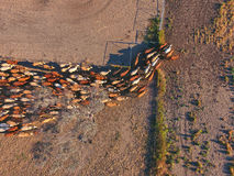 Aerial view of Outback Cattle mustering. Featuring herd of livestock cows and bulls in drought and dusty area Stock Photos