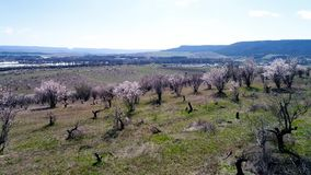 Aerial view over agricultural fields with blooming trees. Shot. Top view of the flowering fields of cherry trees stock video