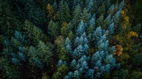 Evergreen trees in Washington State. An aerial view over a forest with evergreen trees and deciduous trees changing colors in Washington State stock photo