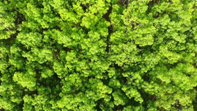 Aerial view over fresh green rubber trees from top in the forest stock video footage
