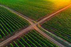 Aerial view over vineyard field in Europe. Sunset shot. Royalty Free Stock Photo