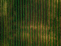 Aerial view over vineyard fields in Italy. Rows of grape vines. Top view royalty free stock photos